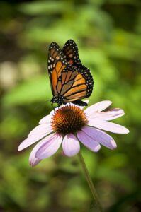 What flowers attract hummingbirds and butterflies