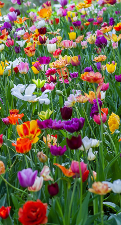 Everything About Tulips