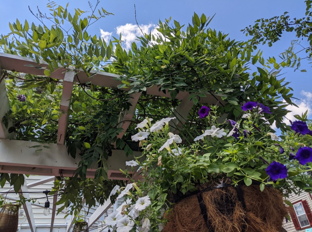 Pergola with Wisteria and Hanging Basket