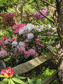 Rhododendron and Azaleas